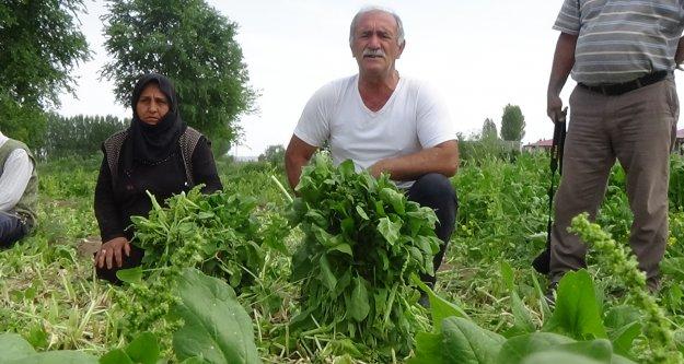 Ispanak ve soğan tarlada kaldı: çiftçi, ürünü maliyetine bile satamıyor
